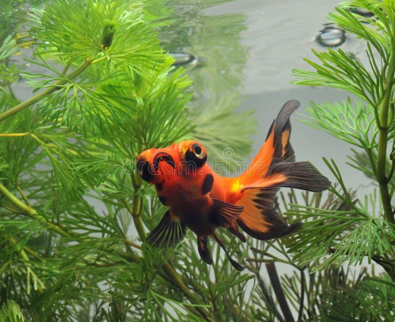 Goldfish dans le fishbowl photos libres de droits