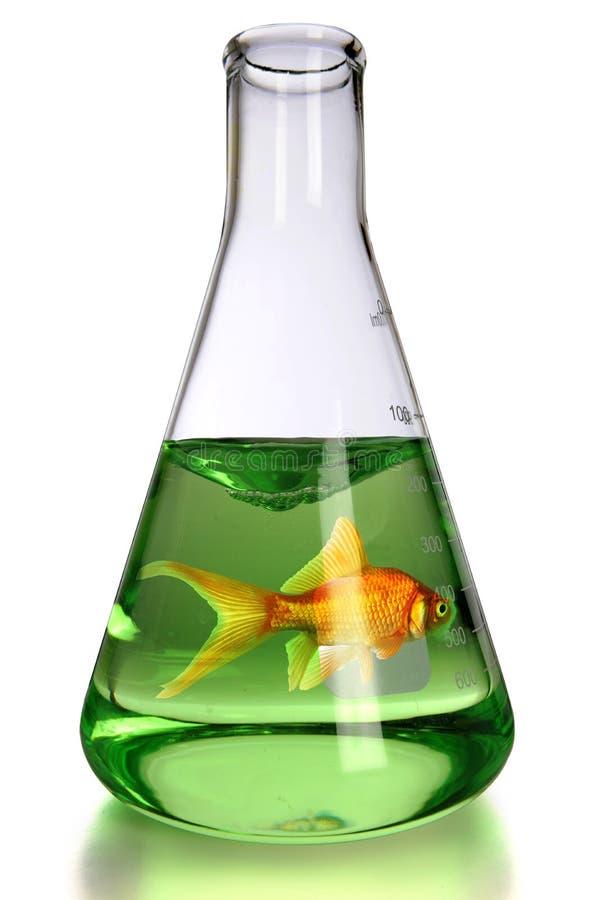 Goldfish dans le flacon de laboratoire image stock