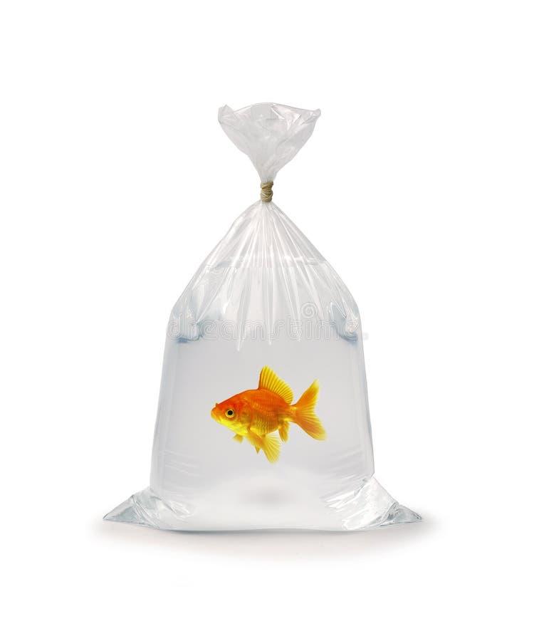 Goldfish dans le sac photo stock