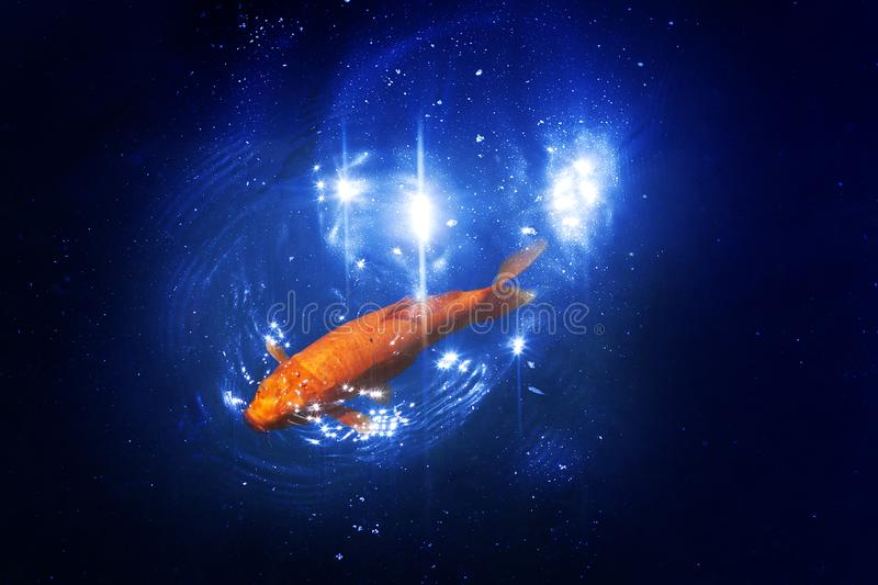 Goldfish in dark blue glowing water, red and yellow japanese koi carp swims in pond close up, abstract golden fish constellation royalty free stock image