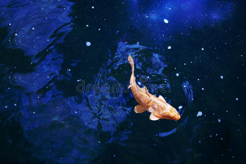 Goldfish in dark blue glowing water, red and yellow japanese koi carp swims in pond close up, abstract golden fish constellation stock photos