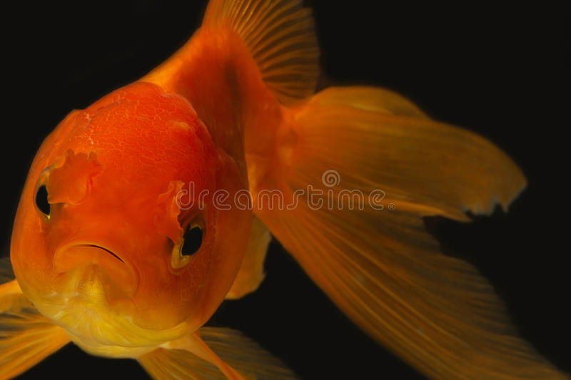 Goldfish in the dark royalty free stock photos
