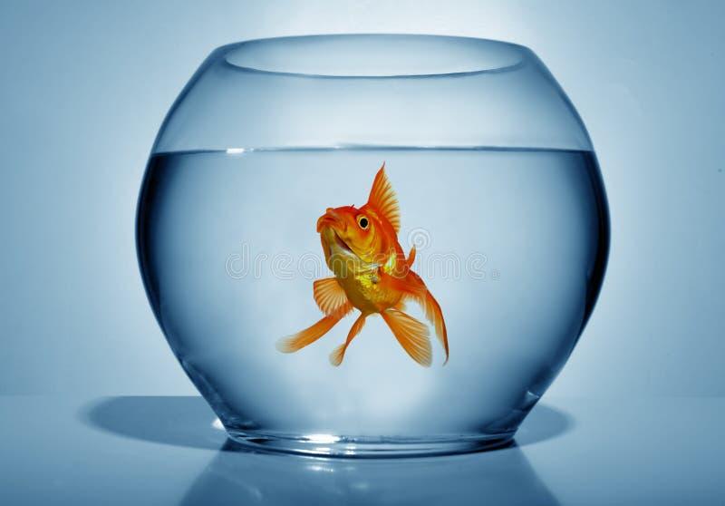 goldfish de cuvette image stock
