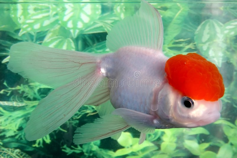 Goldfish de Lionhead photographie stock libre de droits