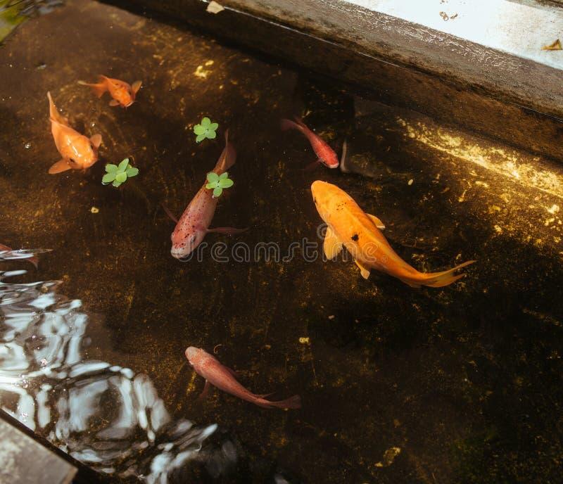 Goldfish in de vijver op straat in Ho Chi Minh, Vietnam stock afbeelding