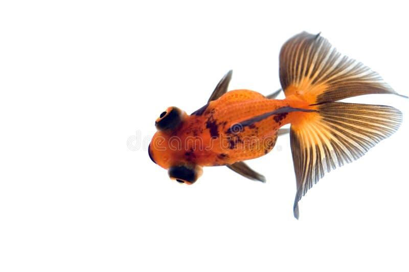 Goldfish del ojo del dragón fotos de archivo libres de regalías