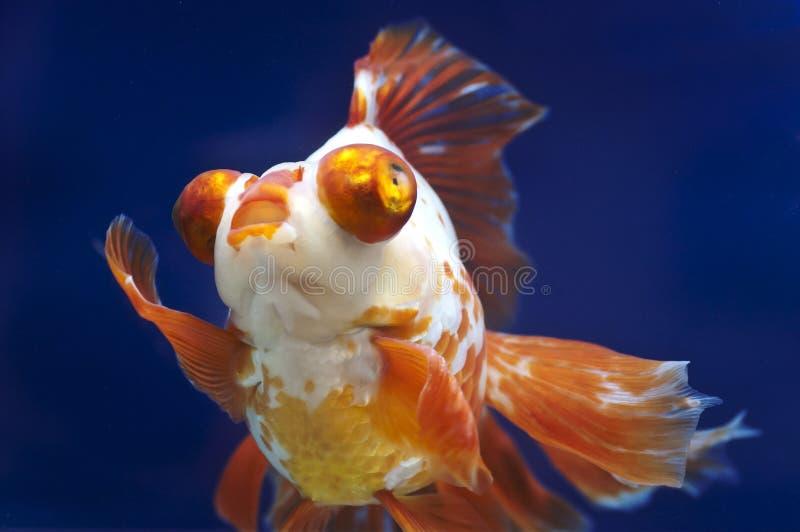 Goldfish del ojo del dragón en el tanque de pescados foto de archivo