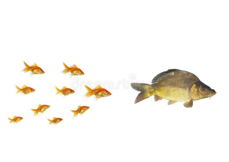 Goldfish, der für größeres fließt lizenzfreies stockbild