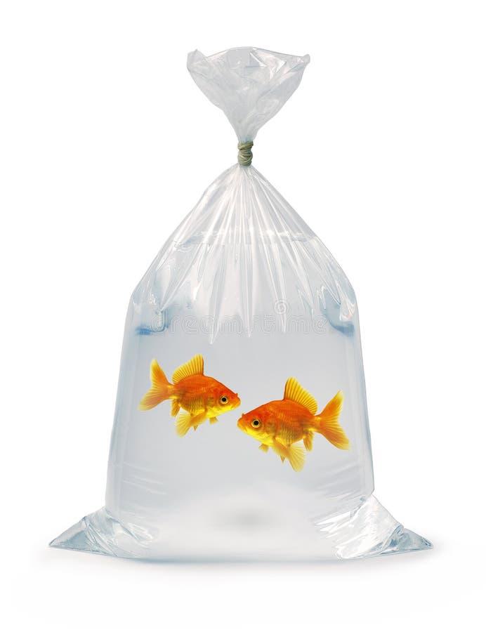 Goldfish deux dans un sac photo libre de droits