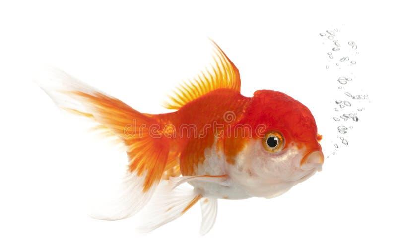 Goldfish di Lionhead, auratus del Carassius fotografia stock libera da diritti