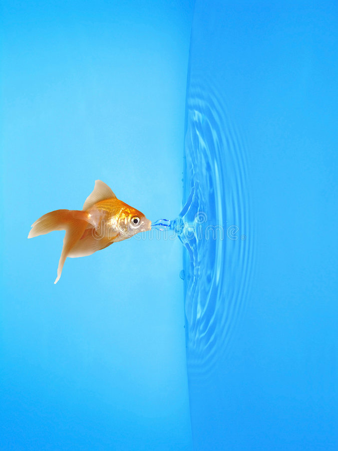 Download Goldfish Drinking Frozen Water Drop Stock Image - Image: 7281545
