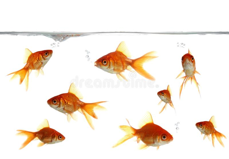 Goldfish-durchbrennenluftblasen stockfotografie