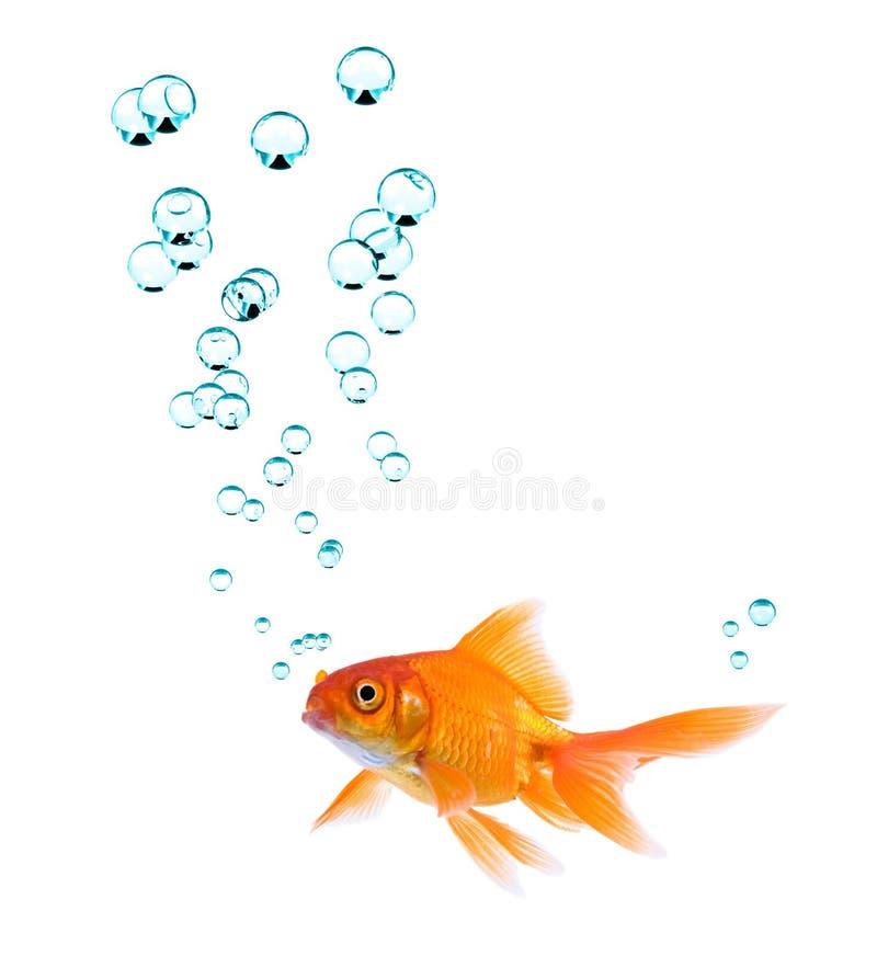 Goldfish e bolhas imagens de stock