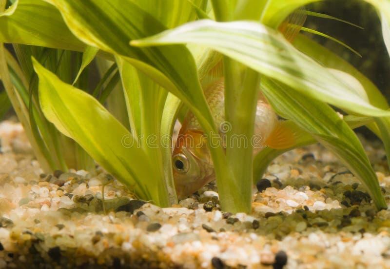 Goldfish eating 02 royalty free stock image