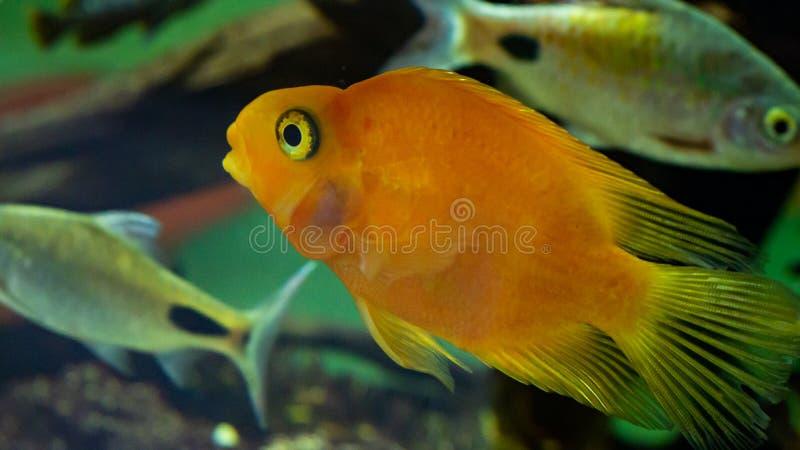 Goldfish in een aquarium dicht Oranje kleur stock foto