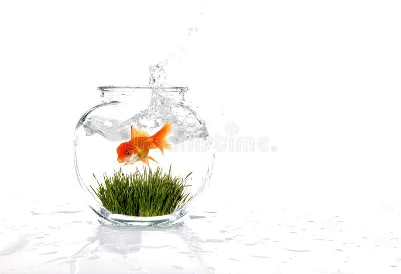 Goldfish in einer Schüssel mit Gras lizenzfreie stockfotos