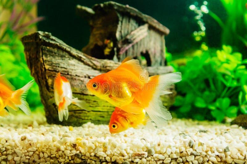 Goldfish en acuario fotos de archivo