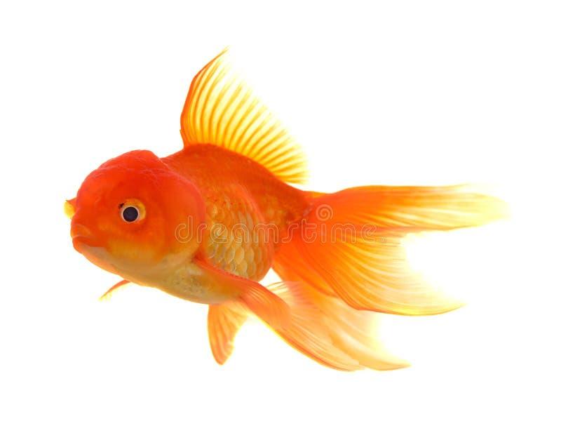 Goldfish en el fondo blanco imagenes de archivo