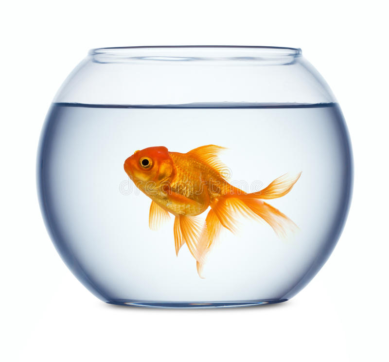 Goldfish en un fishbowl   fotografía de archivo