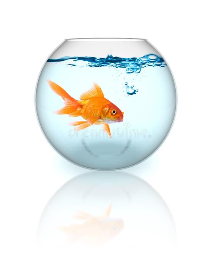 Goldfish en un tazón de fuente fotos de archivo