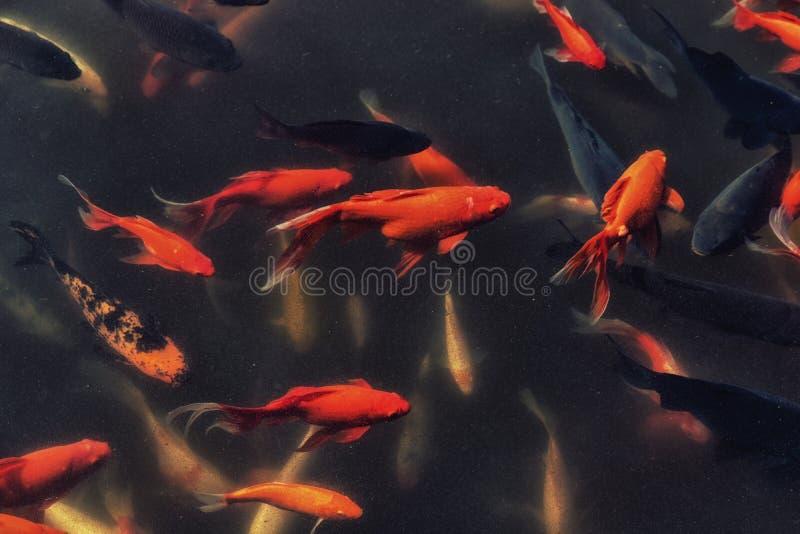 Goldfish en una charca foto de archivo