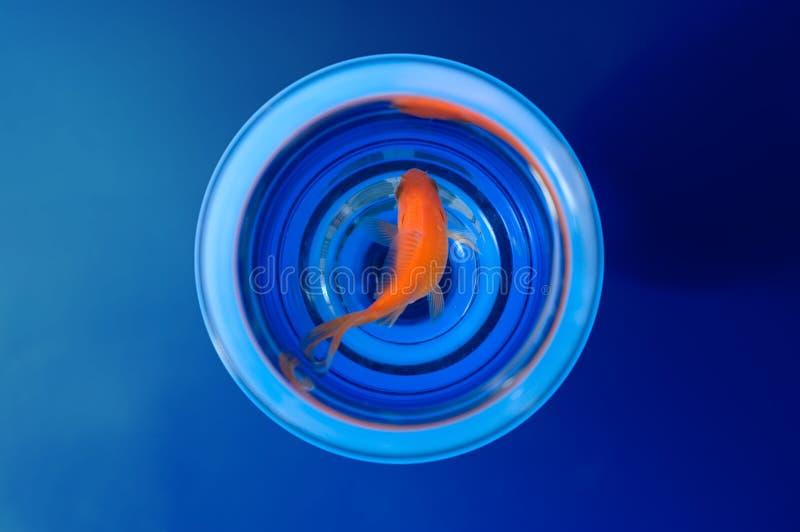 Goldfish en vidrio imágenes de archivo libres de regalías