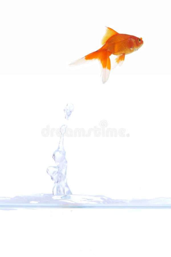 Goldfish escape. Beautiful goldfish escaping from bowl