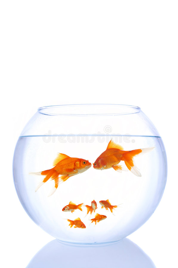 Goldfish family royalty free stock photos
