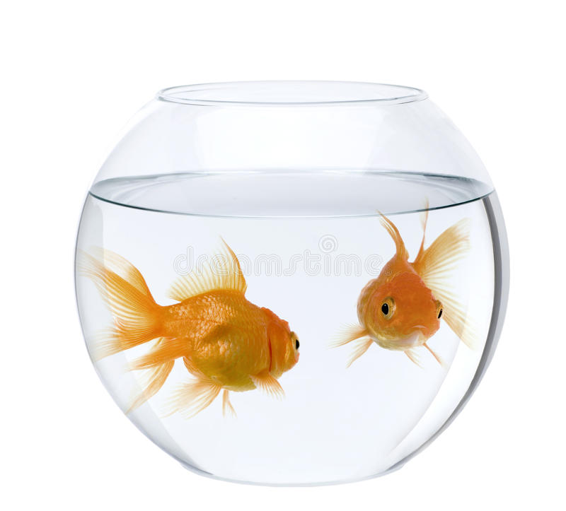 Goldfish in fish bowl, against white background stock images