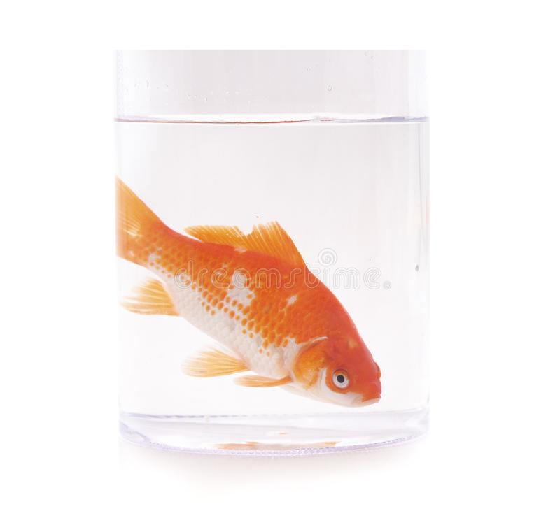 Goldfish fish in a glass royalty free stock images