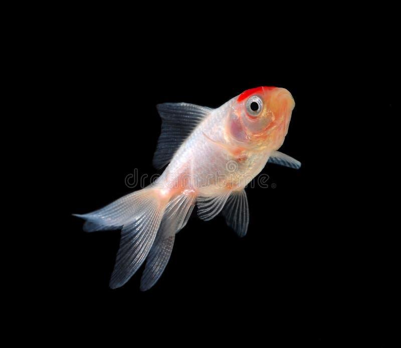 Goldfish getrennt auf schwarzem Hintergrund stockbild