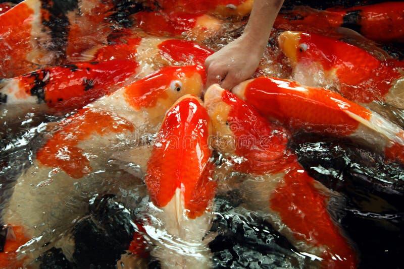 Goldfish grande fotos de archivo