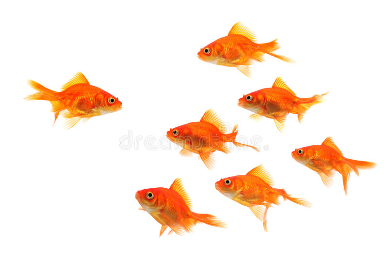 Goldfish group leader royalty free stock photos