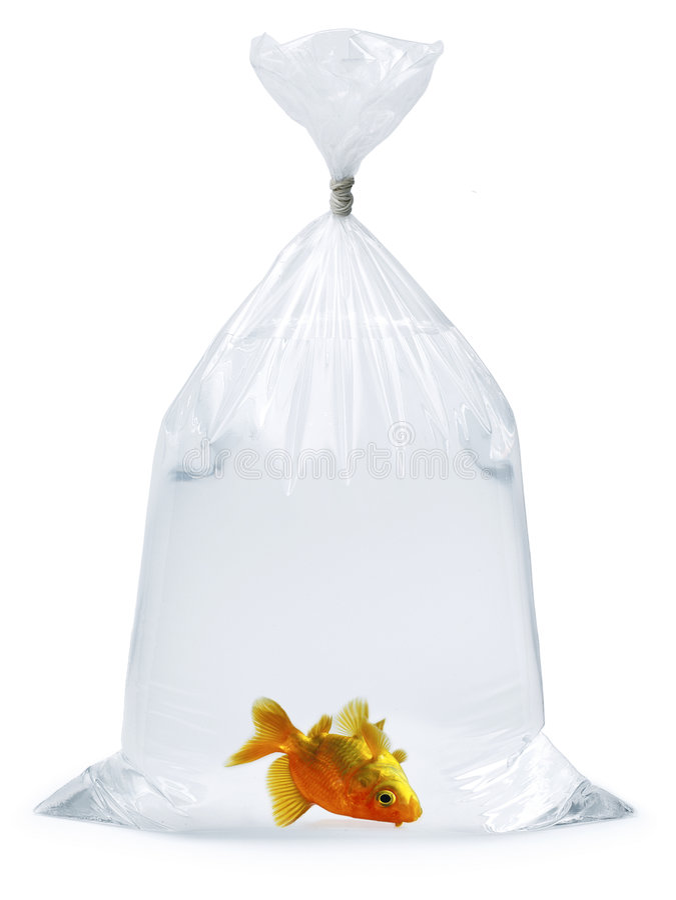 Goldfish guasto fotografia stock