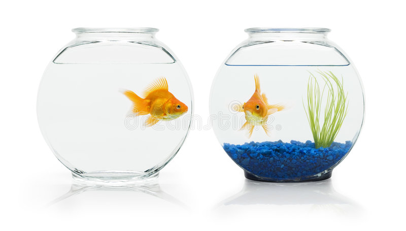 Goldfish Habitats. Two ryukin goldfish in contrasting fish bowls
