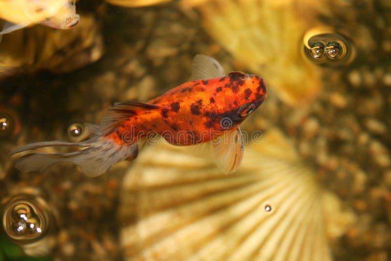 Goldfish in het aquarium close-up stock afbeeldingen