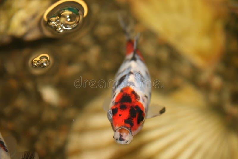 Goldfish in het aquarium close-up royalty-vrije stock foto's