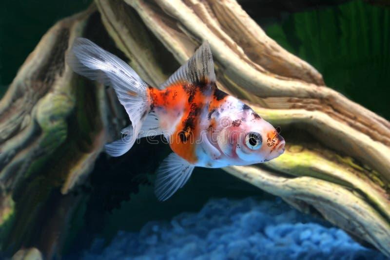 Goldfish im Aquarium lizenzfreie stockbilder