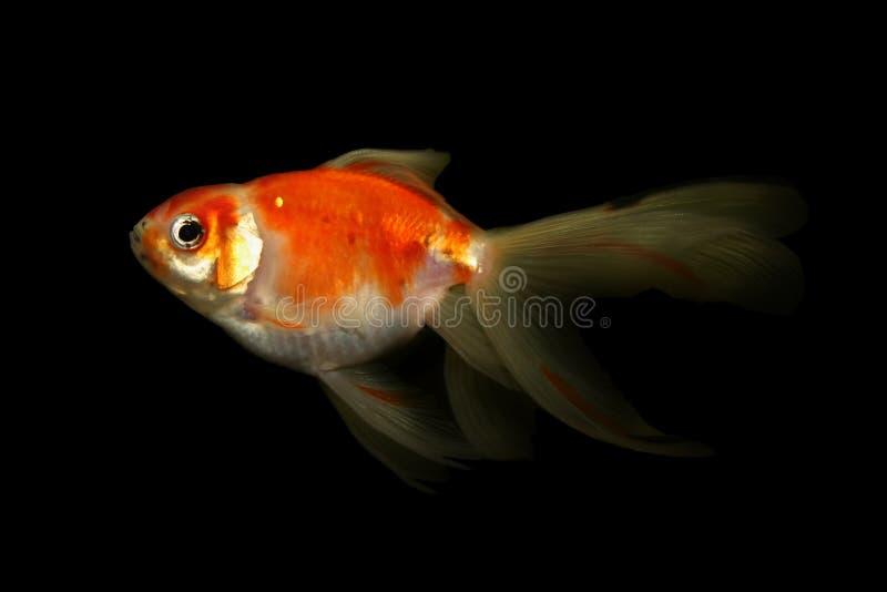 Goldfish isolated on black stock photos