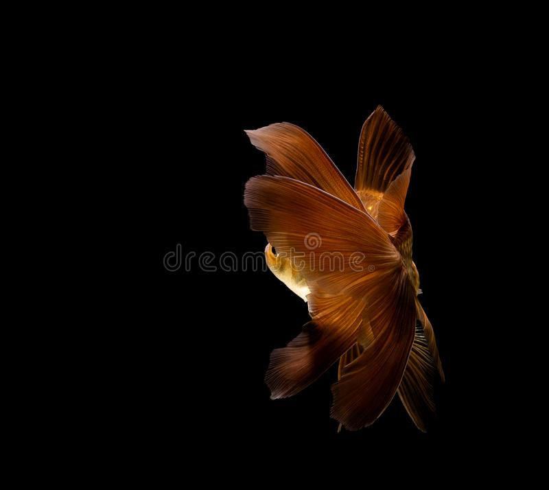 goldfish isolated on a dark black background stock image
