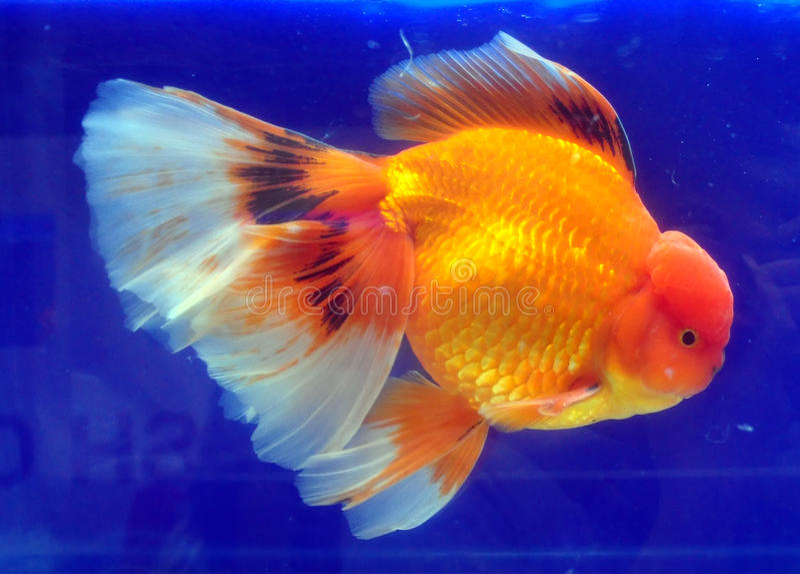 Goldfish jaune de Ranchu photo libre de droits