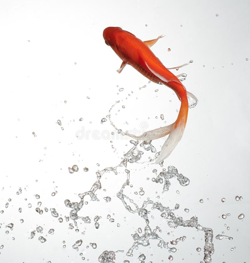 Goldfish jump out with water splash stock photo