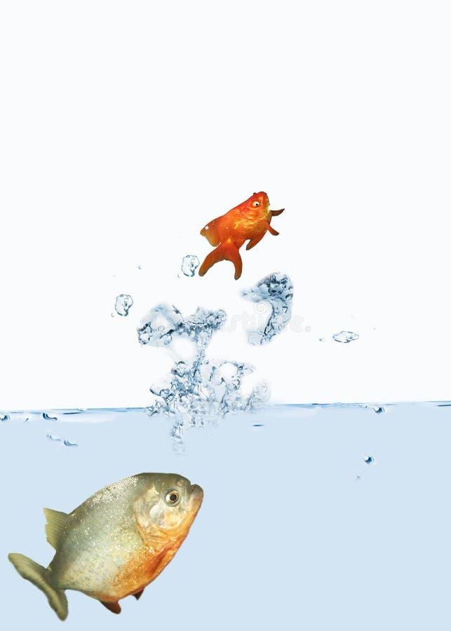 Goldfish jumping stock photography