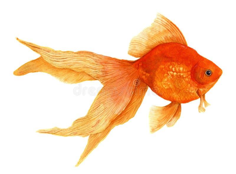 Goldfish Künstlerische realistische Illustration des Aquarells stockbilder