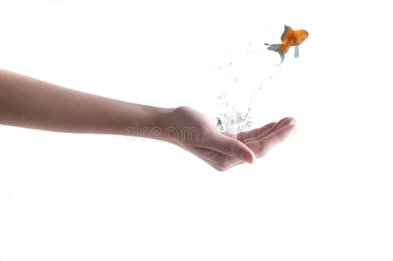 Goldfish leaping from hand with water royalty free stock photos