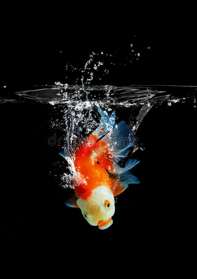 Goldfish leapt into the water, Gold fish swimming on a dark background royalty free stock image