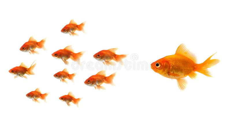Goldfish looking at the bait royalty free stock photos