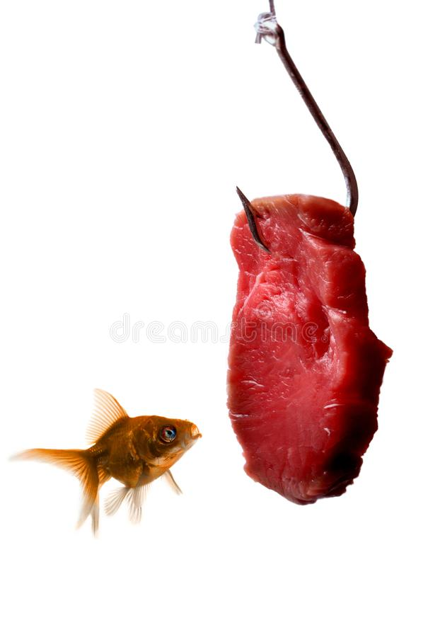 Goldfish looking at the bait. Isolated on a white background royalty free stock image