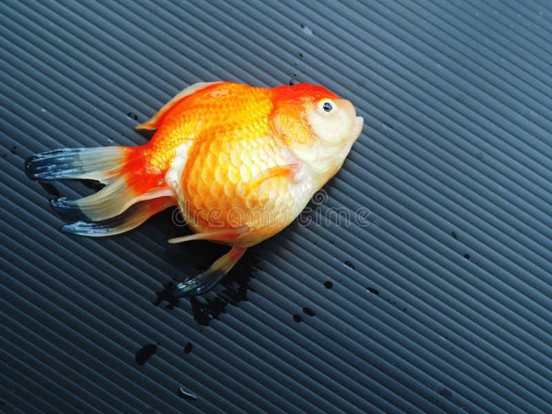 Goldfish mort sur le fond noir images libres de droits