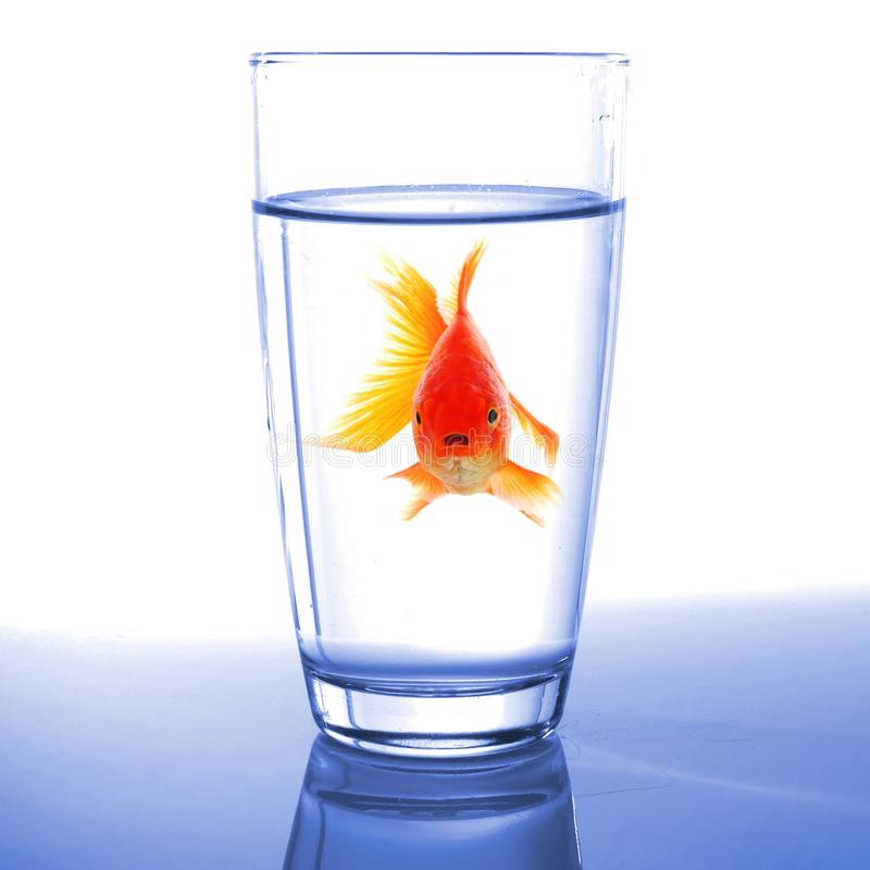 Goldfish na água de vidro fotografia de stock